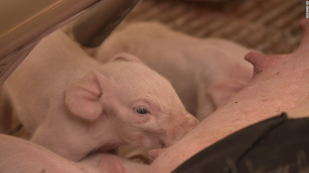 This tech could save millions of piglets from accidentally being crushed - CNNMoney