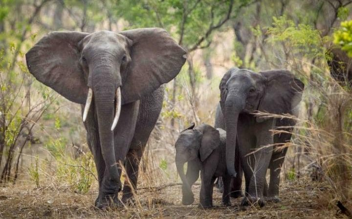 Elephants in Malawi relocated as part of conservation project