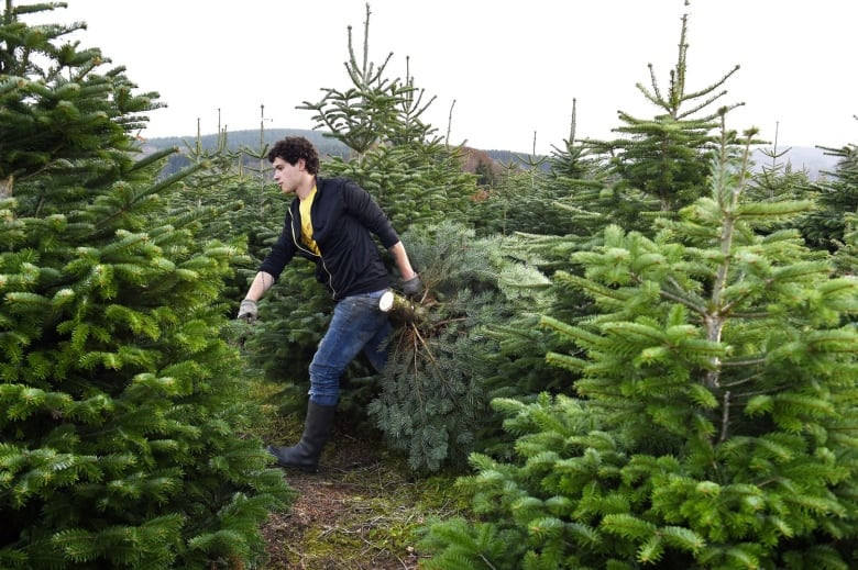 Real versus fake Christmas trees: Which one's greener?