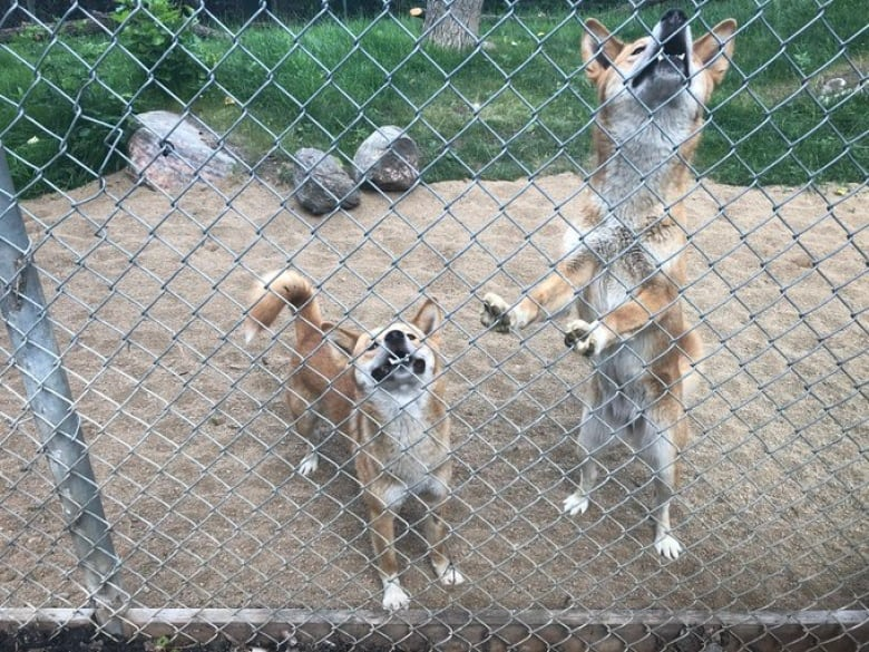 Arrival of purebred dingo sisters in Saskatoon marks a first for Canadian zoos