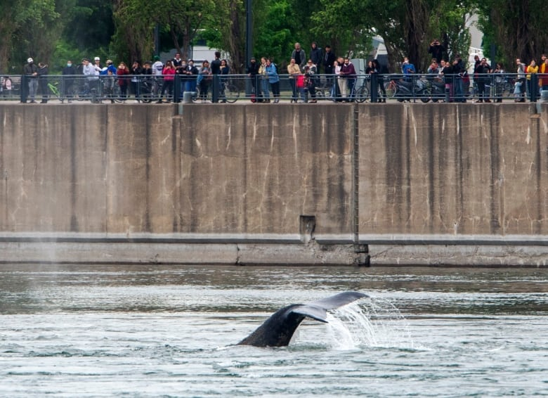 Wayward humpback whale that showed up near Montreal's port found dead floating down St. Lawrence