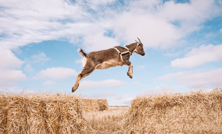 'Sidekick' pet goat missing for 3rd time from southern Alberta home