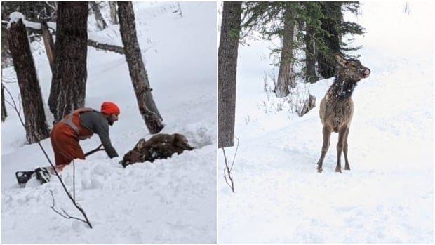 Right place at the right time: Man rescues elk from B.C. mountain avalanche