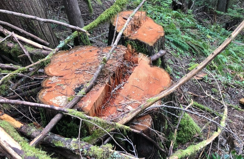 Tree poaching on Vancouver Island prompts spike in forest patrols