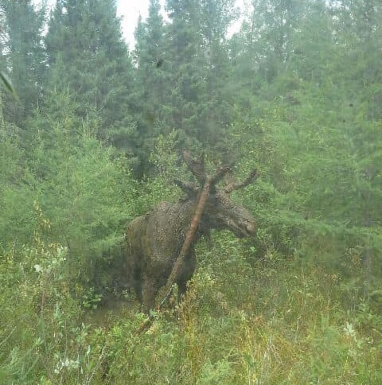 Moose in muddy predicament rescued by men in Timmins, Ont.