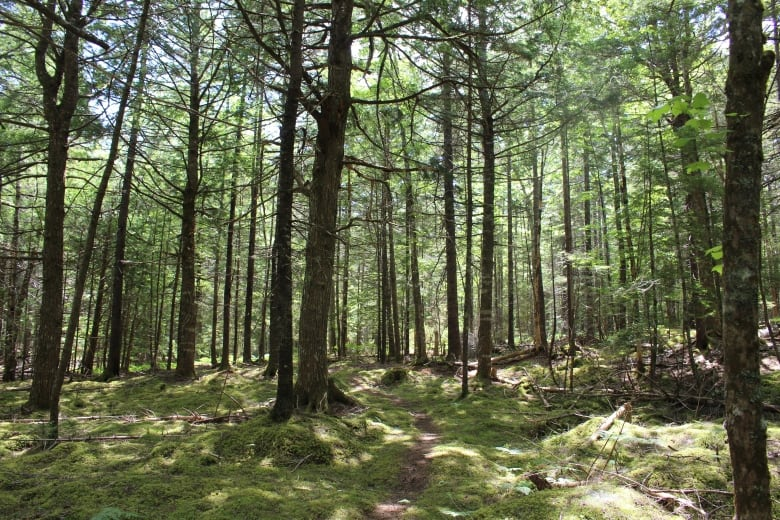Parks Canada plans to protect Keji's hemlocks with insecticides, cutting