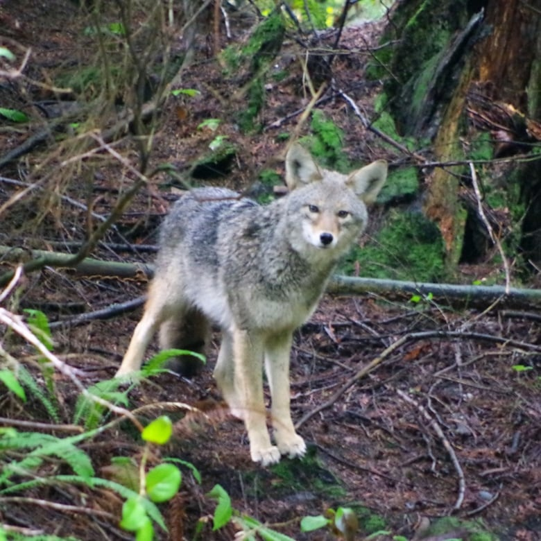 If you are upset about coyotes being killed in Vancouver, help prevent wildlife feeding, say experts
