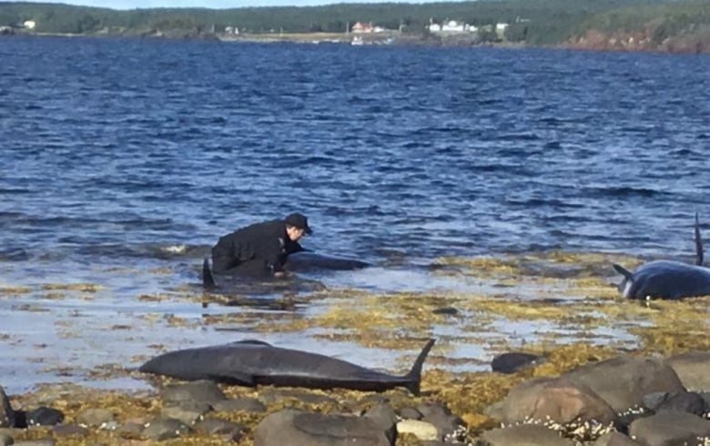 It took over 3 hours, but this conservation officer helped save 7 beached whales in Embree