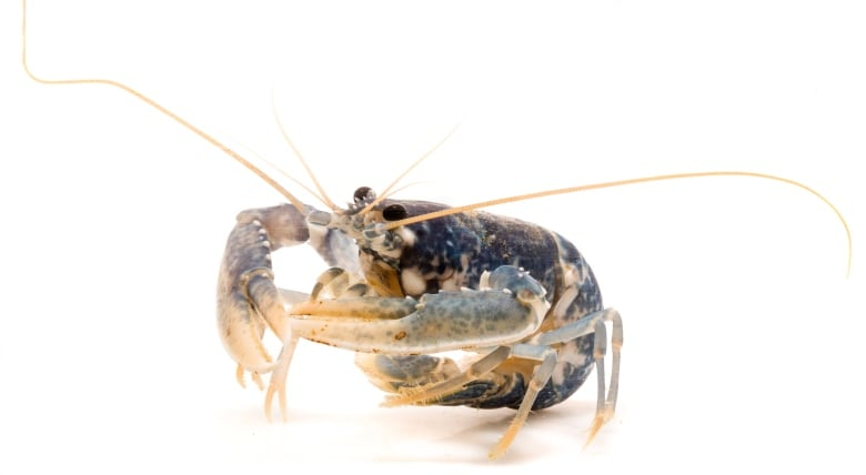 Researchers develop new way to determine age of lobsters