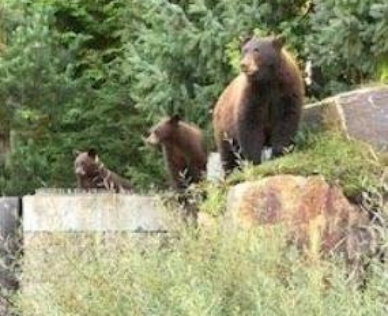 Crown wanted plea deal in Whistler bear feeding case to avoid 'controversy' over killings
